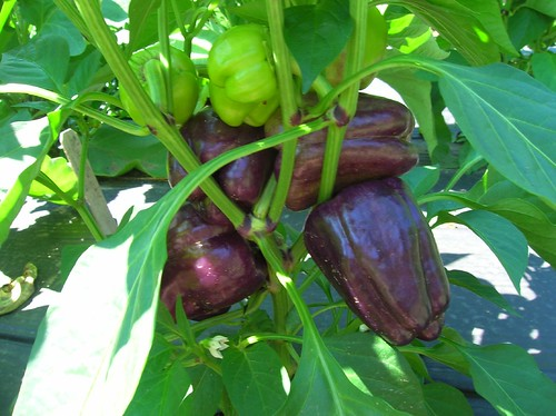 Purple (sweet) Peppers Growing in the Field
