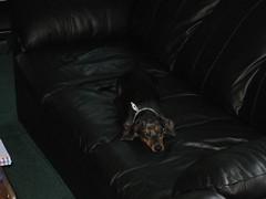 Couch dachshund