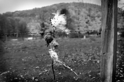 Milkweed w/vignette