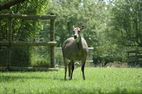 Nilgau Antilope im Howletts Wild Animal Park