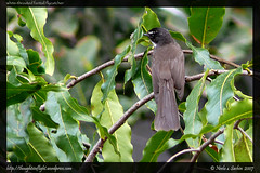 White Throated Fantail Flycatcher