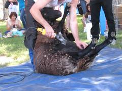 2007Jul28_SheepShearing02