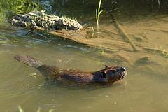 Beaver Swimming by Tom LeBlanc
