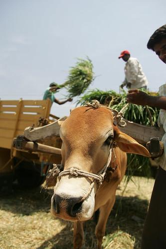 Fodder market in India