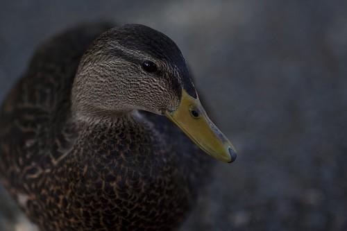 Modeling duck