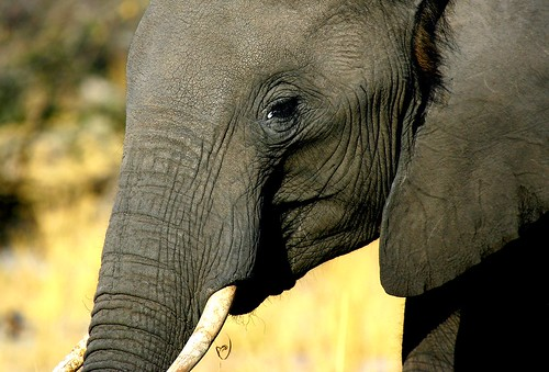 YOUNG ELEPHANT IN BOTSWANA..WE GOT VERY CLOSE TO THIS ONE