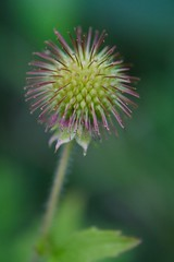 Rough Avens Seed Head