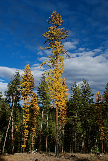 Western larch, autumn