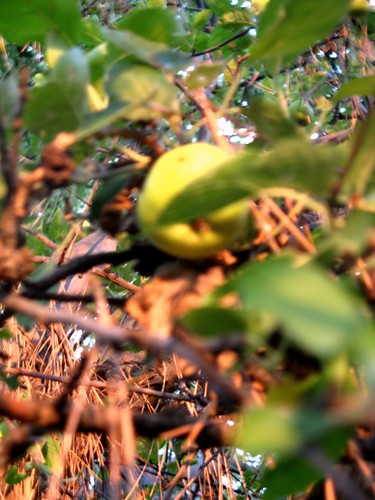 apple out of focus