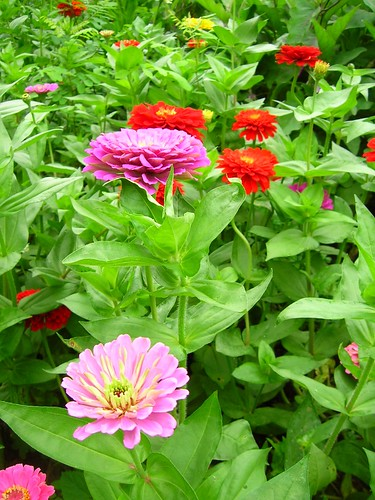 Zinnias Growing Tall Down the Row