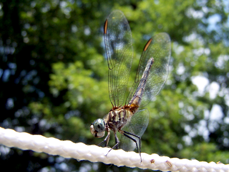 Dragonfly & Clothesline