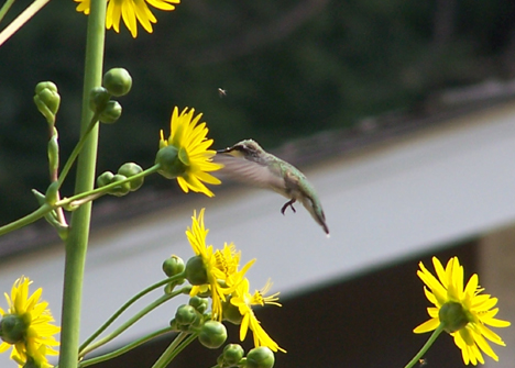 Hummingbird & Sunflowers 2