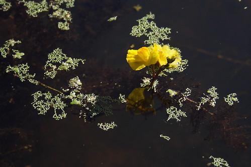 Bladderwort and Duckweed