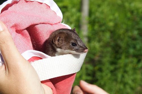 Ferret (or Weasel?) in Pouch