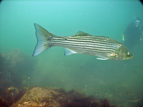 Striper at Nubble Light