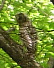 Blurry barred owl