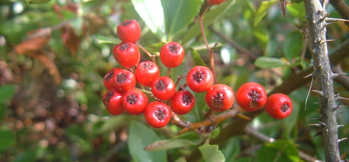 Red Berries 1