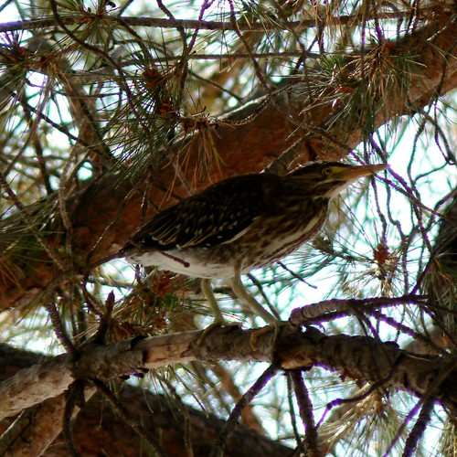Young Green Heron in roosting tree