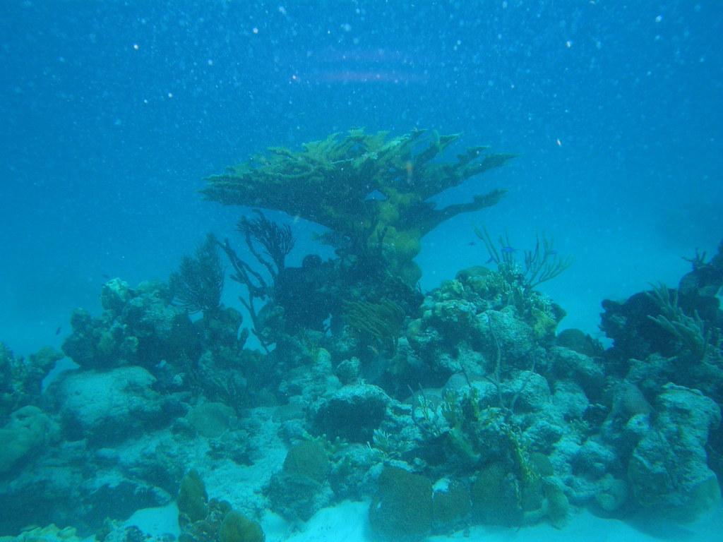 cabezo de coral, coronado con un Acropora palmata