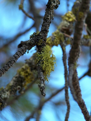 Ponderosa Pine Lichen