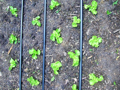 Irrigation tape laid out among baby lettuce