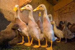 Bowling Pin Ducks