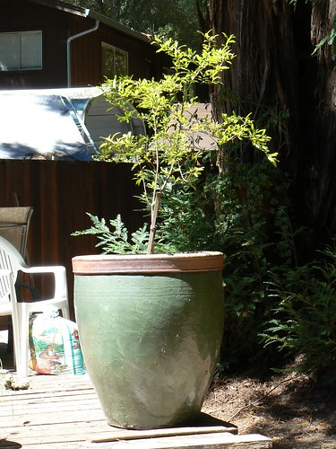 Pomegranate tree in the new pot!