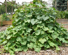 side view of cucumbers