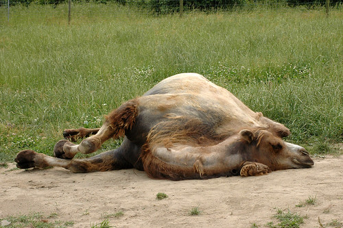 Mycket trött kamel