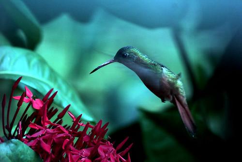 Le vert colibri, le roi des collines