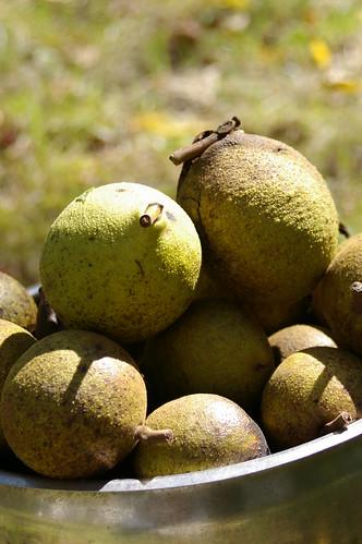 walnuts in a bucket 2