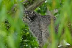 Manul im Howletts Wild Animal Park
