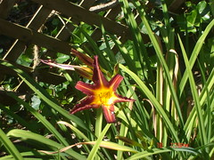 A star of a Day Lily