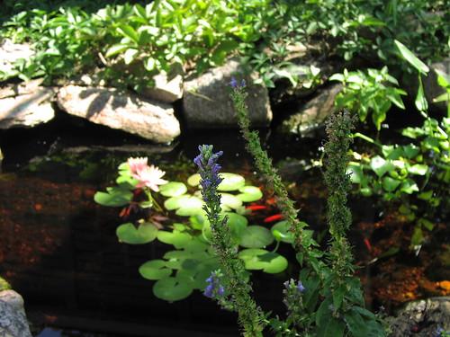 Lobelia and pond