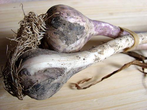 Rocambole garlic
