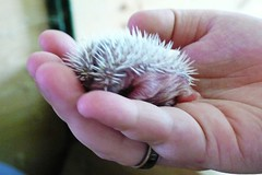White belly hedgehog - 3 days old