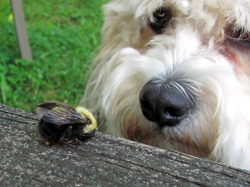 Ozzie & the bee, up close!