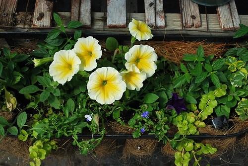 yellow petunia
