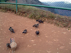 Waimea Canyon chickens
