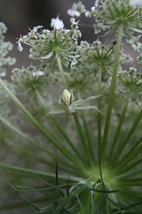 Crab Spider on Queen Anne's Lace