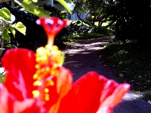 Hibiscus on Kaua'i