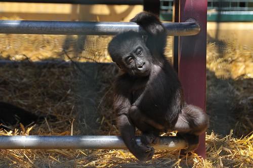 Gorilla Kiju im Howletts Wild Animal Park