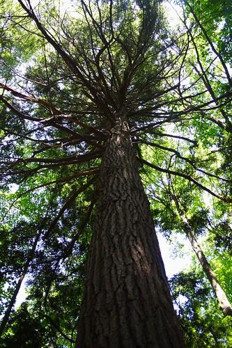 Enormous Hemlock