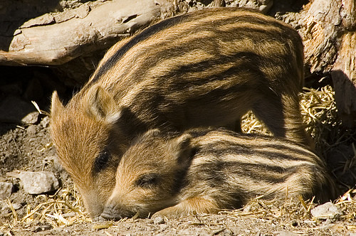 wildschweins