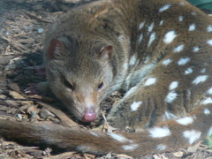 An eastern quoll