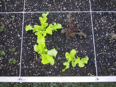 0606_lettuce4