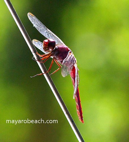 aka_lol - Dragonfly