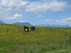 Horses in fields of yellow