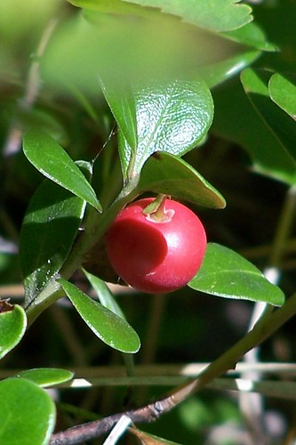 bear-berry
