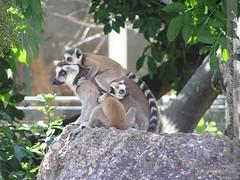 lemuren-schönbrunn